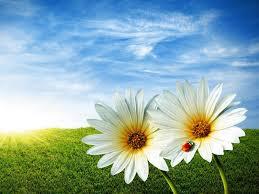 2 daisies and ladybug